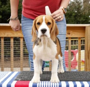 beagle puppies near me